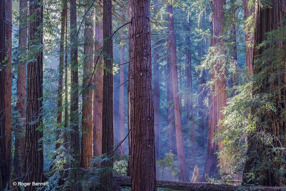Lightstreaks in Forest, Muir Woods, CA