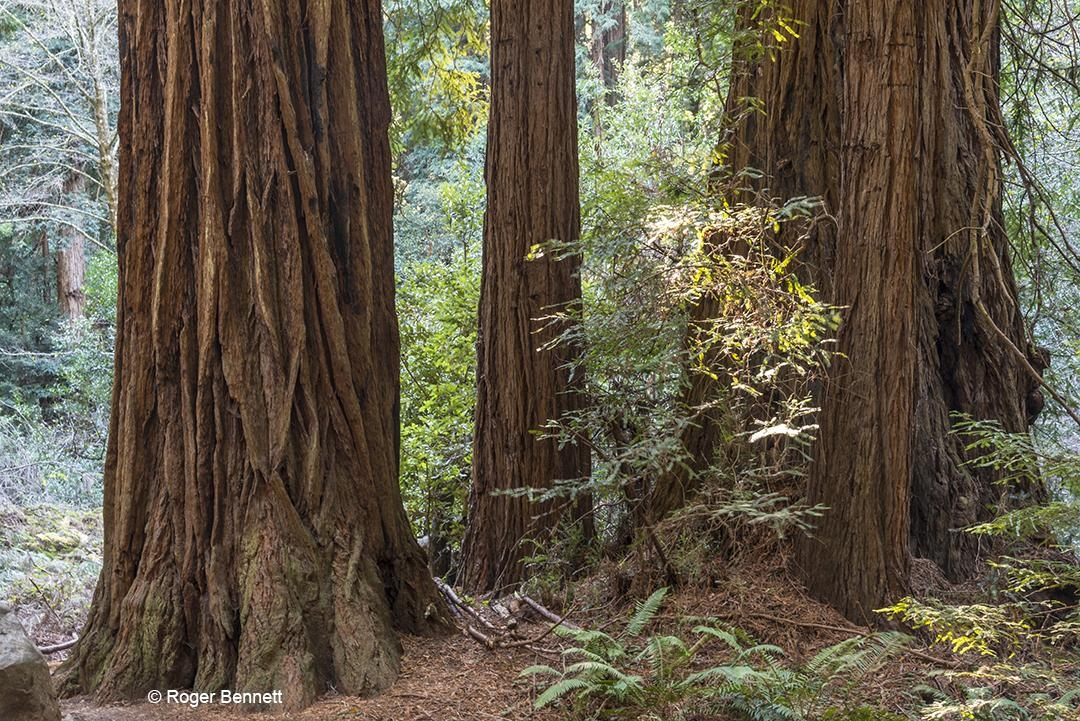 Redwood Trees, Muir Woods, CA